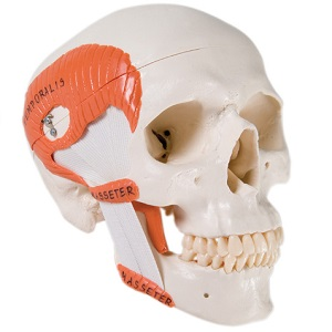 CLASSIC TMJ SKULL WITH MASTICATORY MUSCLES, 2-PART