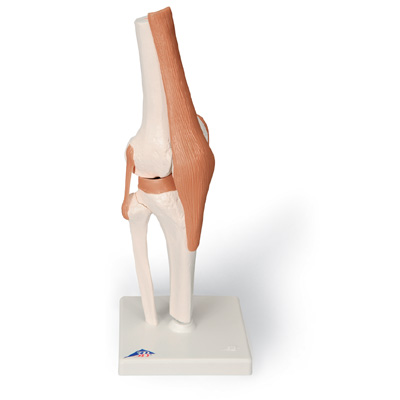 FUNCTIONAL KNEE JOINT