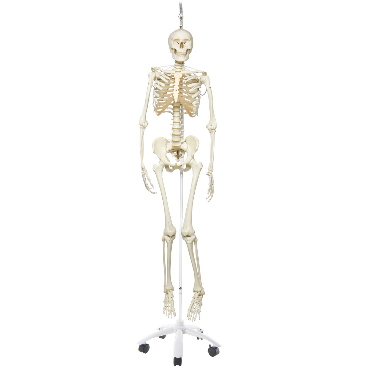 FUNCTIONAL PHYSIOLOGICAL SKELETON MODEL