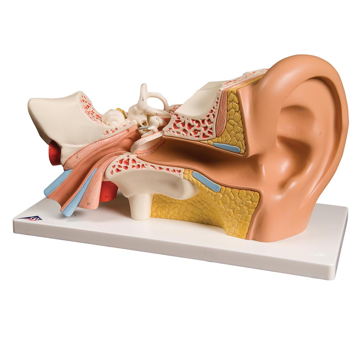 EAR 3 TIMES LIFE-SIZE, 6 PART (1000251)